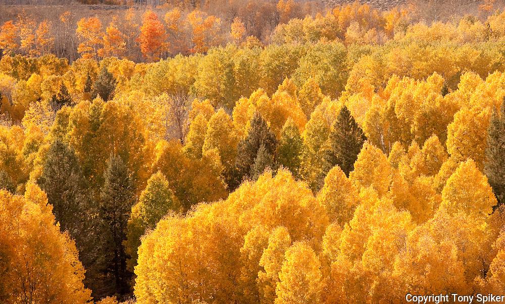 """Fall Aspens 1"" - Fall Aspens along Highway 395 at Conway Summit"