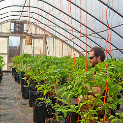 Training tomato plants in a greenhouse in South Hampton, New Hampshire. Heron Pond Farm greenhouse.  March.