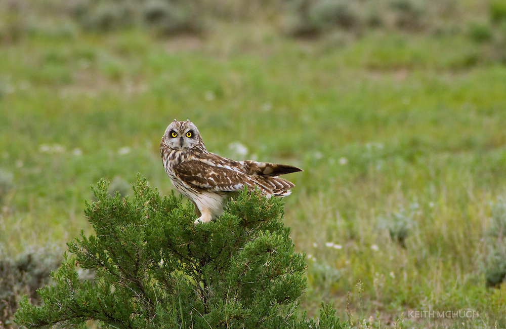 Short-eared owl posing on a greasewood plant