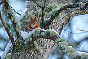 Red Squirrel (Sciurus vulgaris) sitting on lichen and snow covered Oak branch, in the Cairngorms National Park, Scotland