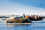"Whalruses and eco-tourists from the wesssle ""Polar Star"" at Magdelenefjord, Spitsbergen, Svalbard."
