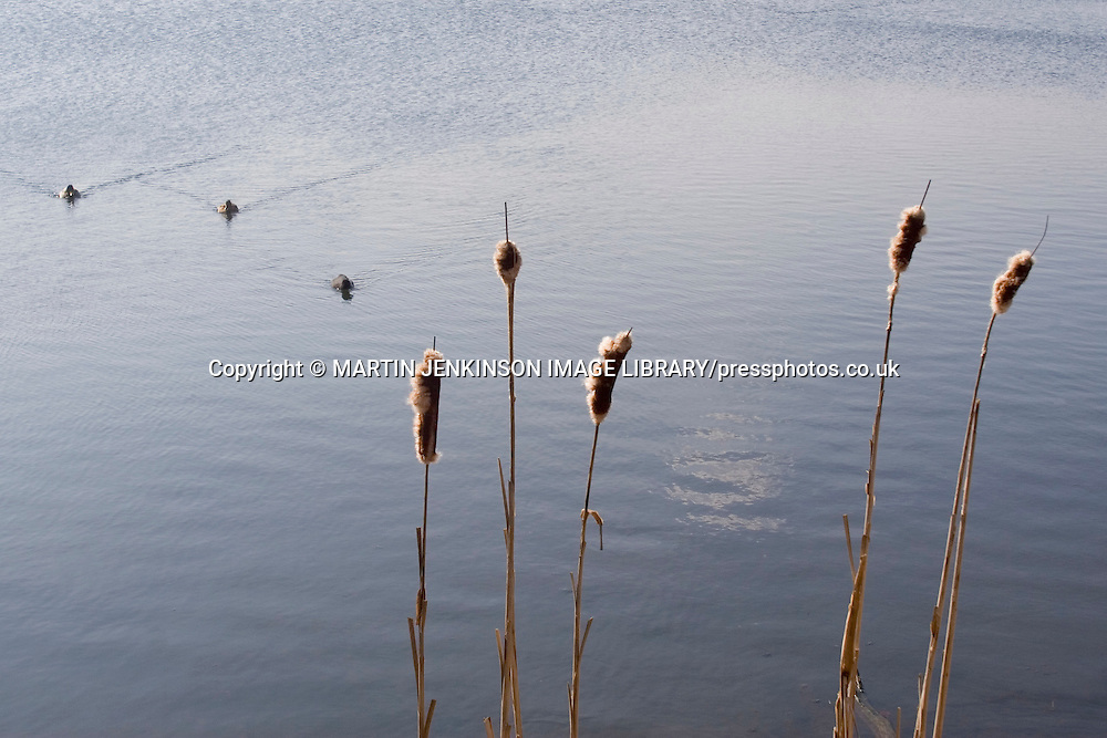Bulrushes, Derbyshire, March 2007