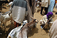 BURKINA FASO, Gorom-Gorom, 2007. A Tuareg nomad patiently waits for buyers in the controlled chaos of Gorom-Gorom's Thursday animal market.