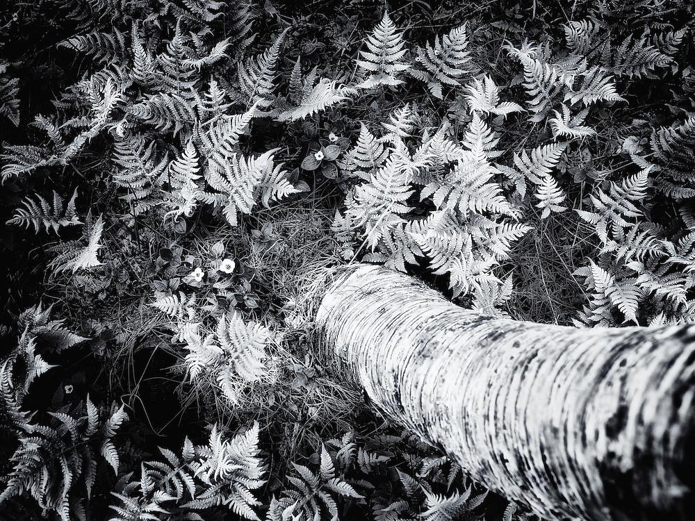 Norway - Birchwood detail BW