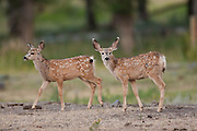 Mule deer (Odocoileus hemionus)fawns in summer