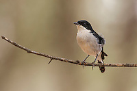 Male fiscal flycatcher, Rooipoort Nature Reserve, Northern Cape, South Africa