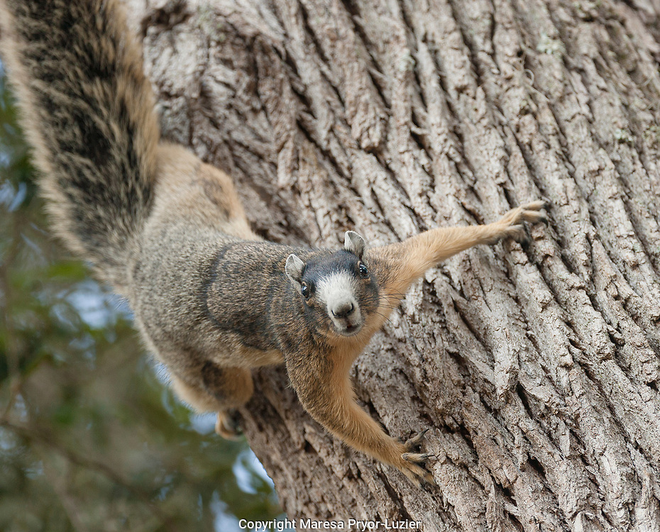 Sherman's fox squirrel in defense stance, Sciurus niger shermani<br /> Central Florida, wild
