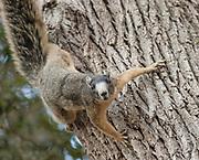 Sherman's fox squirrel in defense stance, Sciurus niger shermani<br /> Central Florida, wild
