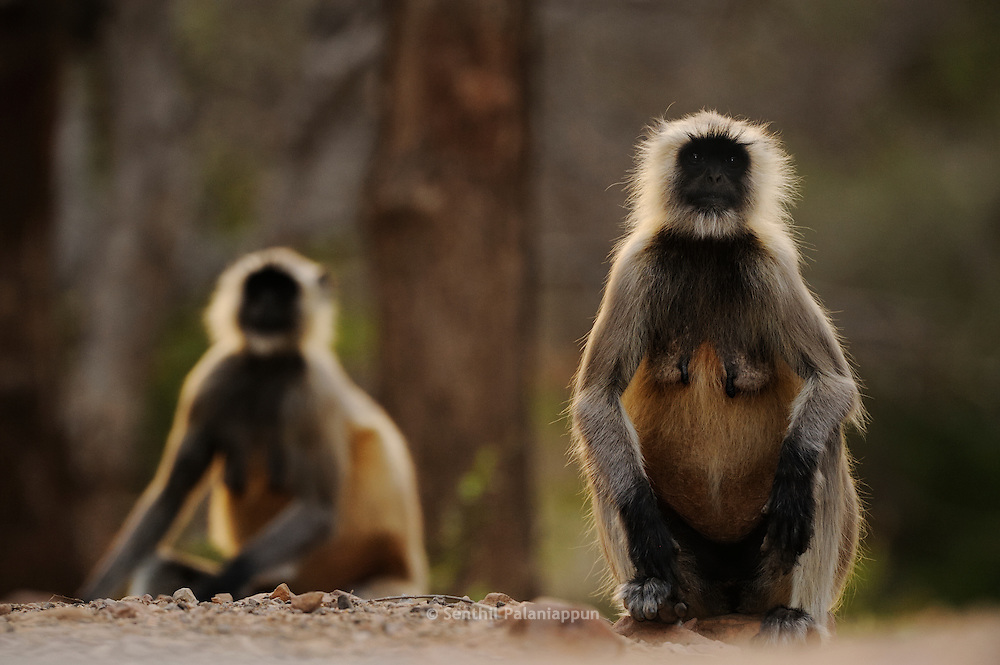 Hanuman Langur Monkeys, Ranthambhore, India