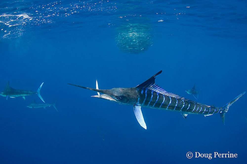 striped marlin, Kajikia audax (formerly Tetrapturus audax ), with sardine in mouth, taken while feeding on baitball of sardines or pilchards, Sardinops sagax, off Baja California, Mexico ( Eastern Pacific Ocean )