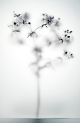 silhouette of wild thistle plant twig