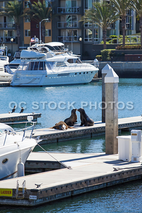 Brown Seals on the Docks in the Marina at Marina Del Rey Harbor