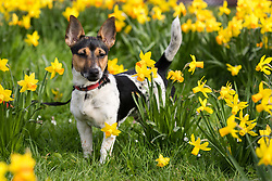© Licensed to London News Pictures. 17/03/2017. LONDON, UK.  Theo, a jack russell goes for a walk in the blooming daffodils in Wapping, east London during mild and sunny spring weather today. Photo credit: Vickie Flores/LNP