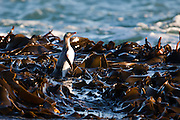 Yellow-eyed Penguin in a bed of kelp, Stewart Island, New Zealand