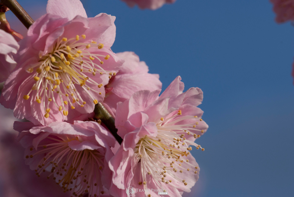 A close up of Japanese plum flowers in early spring.