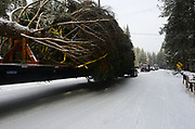A Whitewood Transport truck carries the 2017 Capitol Christmas tree past my driveway headed to Washington DC after leaving the Historic Upper Ford Ranger Station where the Engelmann Spruce was cut down in the upper Yaak Valley. Kootenai National Forest in the Purcell Mountains, northwest Montana.