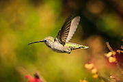 "Scientists have found the humble Anna's Hummingbird to be the fastest animal on the planet!  At only four-inches long, this hummingbird flies at 385 ""body lengths a second"" which is faster than a fighter plane with its afterburners on – 150 ""body lengths a second"" - and the space shuttle during atmospheric re-entry (207 body lengths a second)."