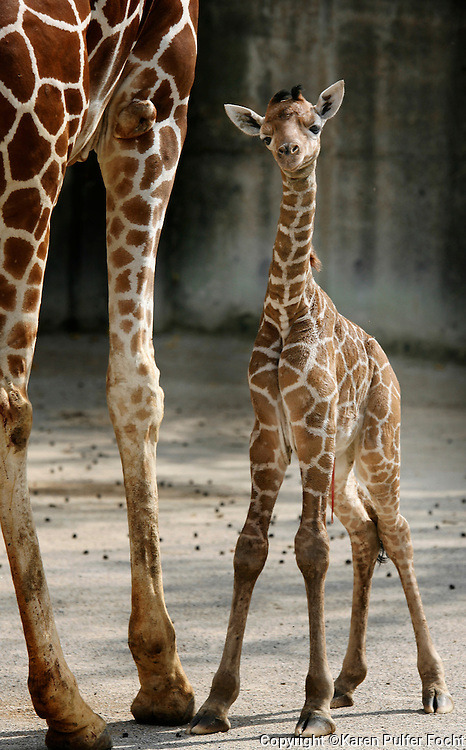 Sarabi gave birth to a new baby giraffe at the Memphis Zoo on Friday. The second new baby in two months was born to the zoo Friday morning around 7am. Until about three years ago, the zoo had gone 15 years without a successful birth. The babies are born while the mother is standing, they then drop to the ground; the gestation is about 14 mos.