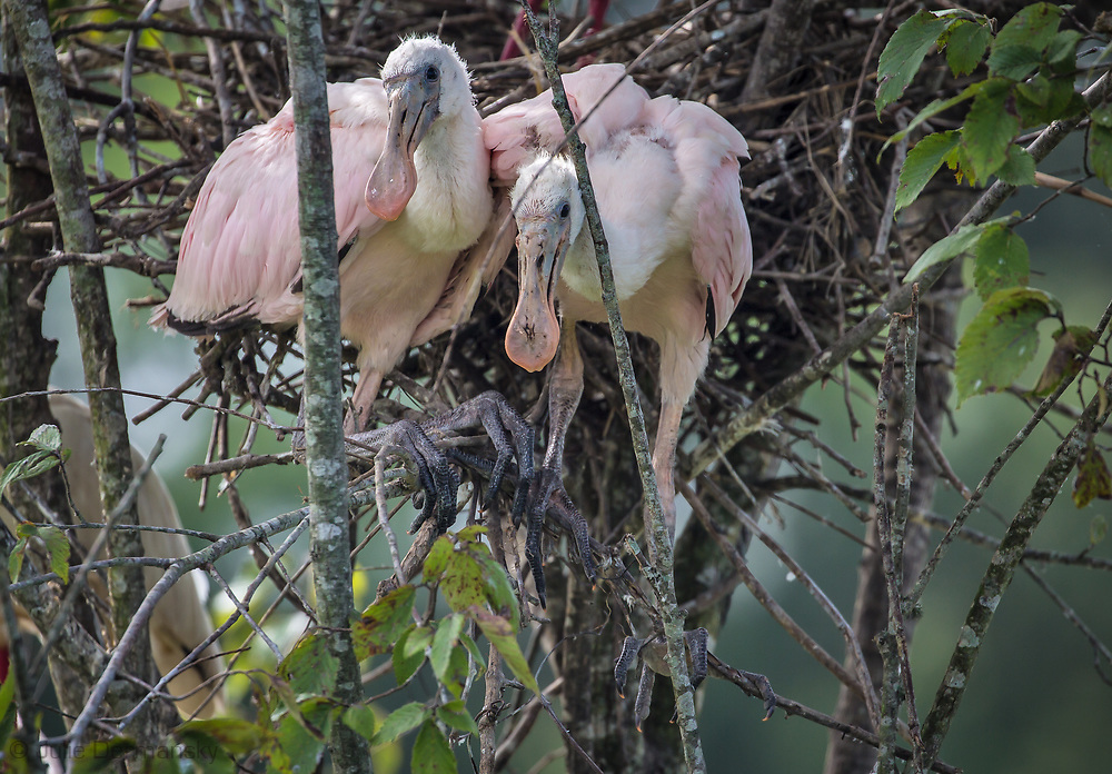 Young roseate spoonbill at a rookery on Jefferson Island, Louisiana.