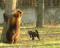 """Rescued  - Masha the brown bear. <br /> Screenshot of bear bait with Bear Masha who will be taken over by FOUR PAWS in September 2013   Former Keeping and """"use"""" of Masha, Pavlograd Ukraine, February 28, 2013. Picture by Roger Allen / i-Images"""