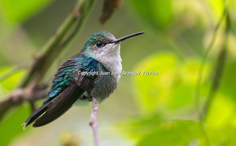 Green-crowned Woodnymph female (Thalurania colombica fannyi). El Queremal, Valle del Cauca