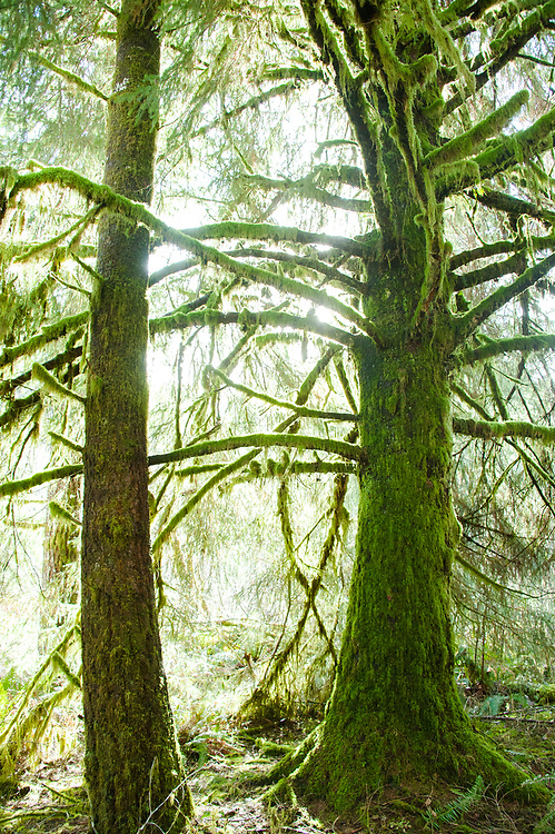 Two trees covered in moss bending towards each other at Tillamook State Forest
