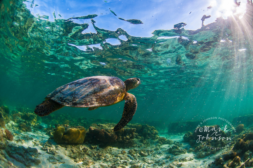 Green Sea Turtle, Lady Elliot Island, Great Barrier Reef, Queensland, Australia