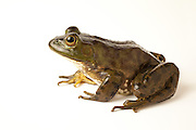 American bullfrog (Rana catesbeiana), an invasive species in the western United States.  Native frogs are turtles often lose when these frogs take over a home pond.