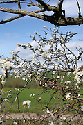 fresh blossom and dead large twig during spring time flowering nature in close up