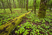 A fallen oak covered with green moss lies in a forest of spring-time new growth. Cades Cove Townsend,TN Great Smokey Mountains.
