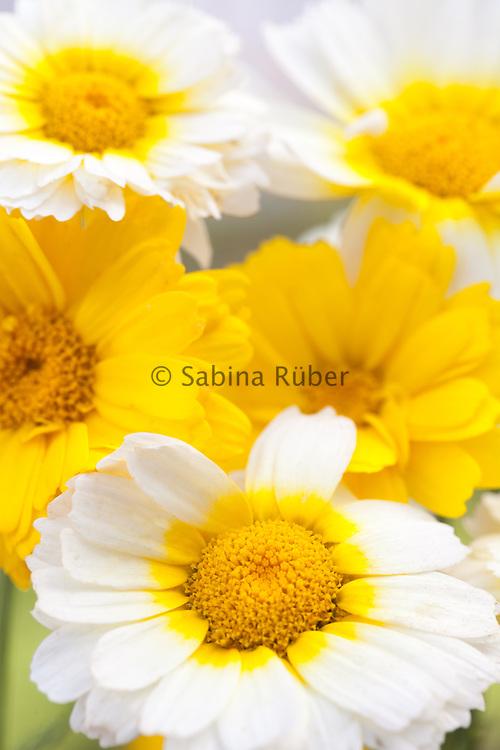 Glebionis coronaria - crown daisy