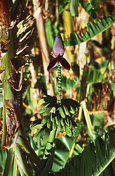 Banana plant with bananas and flower head,