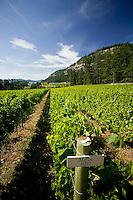 Merlot grapes on the 60-acre Saturna Island Vineyards estate ripen on the vine prior to harvesting.  Saturna Island, Gulf Islands, British Columbia, Canada