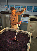 Steve Goff, winemaker at Colene Clemens, punches down bin of Pinot Noir grapes, Ribbon Ridge AVA, Willamette Valley, Oregon