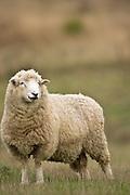 Sheep, Gloucestershire, England
