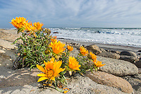 Namaqua Daisies growing on the coastline of the Namaqua National Park. Northern Cape. South Africa.