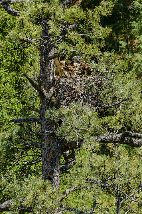 Red-tailed Hawk [Buteo jamaicensis] adult bringing in meal to hungry nestlings at feeding time; Raton Pass, Colorado