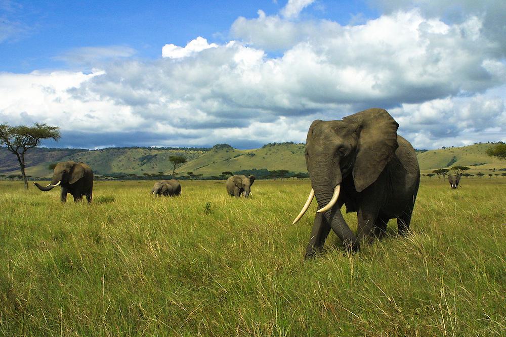 Heard of Elephant Grazing on the grassy plains of the Masa Mara National Park, Kenya