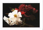 Greeting card with photograph of deep red peony and white flowers individually printed on archival card stock in vivid colors. Blank inside, with envelope.