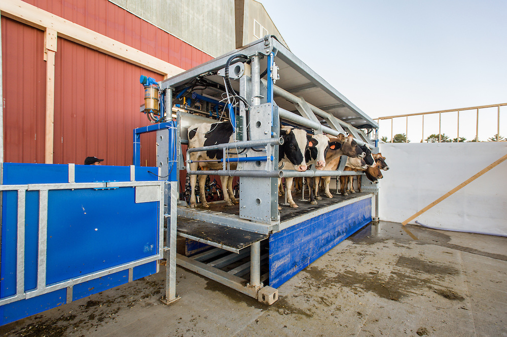 Dairy cows on a portable milking machine in Freeport, Maine.