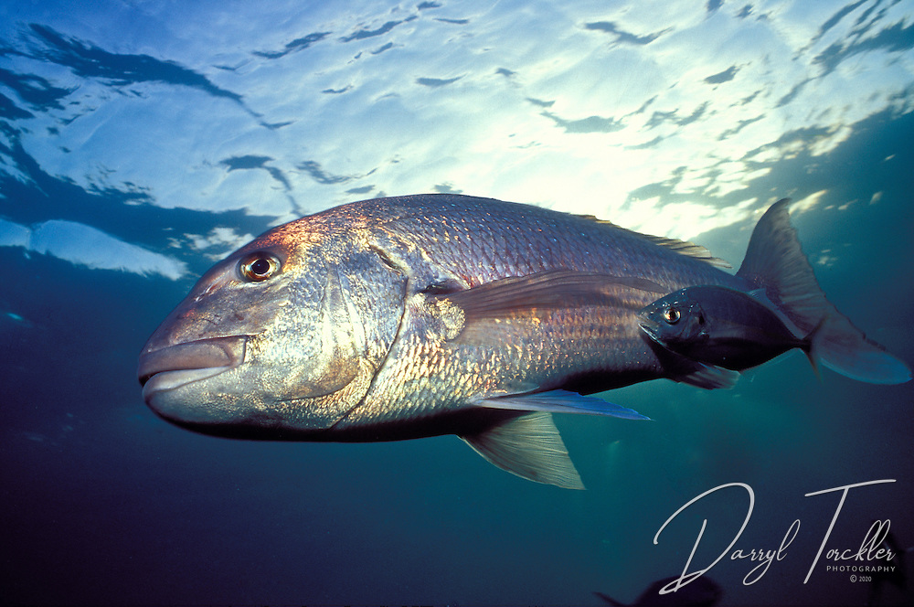 A large snapper with a flanked by a small trevally. Goat island bay marine reserve, New Zealand.