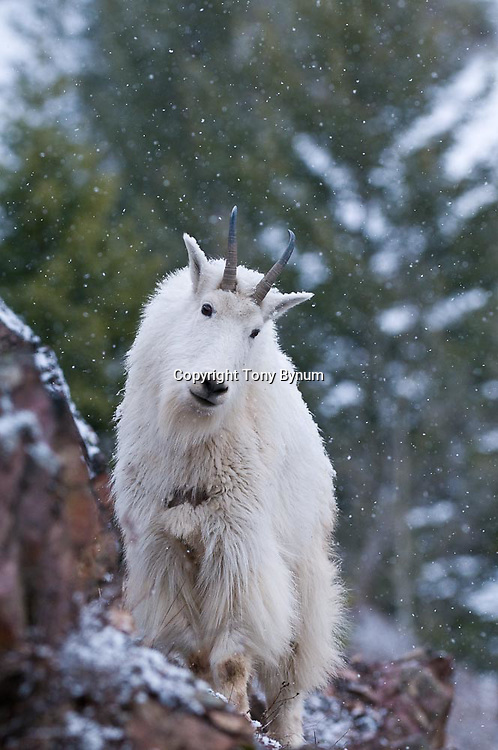 nanny goat on rocks in snow, snowing glacier national park