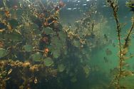 Piranhas in einem Seitenfluss des Rio Paraguay im s&uuml;dlichen Pantanal, Brasilien<br /> <br /> Piranhas in an inlet of the Rio Paraguay in the southern Pantanal, Brazil