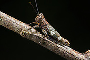 Bark Mimic Grasshopper (Acrididae)<br /> Yasuni National Park, Amazon Rainforest<br /> ECUADOR. South America