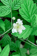 DEWBERRY Rubus caesius (Rosaceae) Height to 10cm<br /> Creeping perennial whose biennial stems bear weak prickles. Found in dry, grassy places but also in fens and dune slacks. FLOWERS are 2-2.5cm across with 5 white petals (Jun-Aug). FRUITS are bluish black, the large segments covered in a plum-like bloom. LEAVES are trifoliate and toothed. STATUS-Widespread and locally common.
