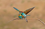 Bee-eater Merops apiaster L 26-29cm.Stunning bird that catches insects in flight. Sometimes perches on dead branches. Sexes are similar. Adult has chestnut crown and nape, grading to yellow on back and rump; uppertail is green and note 2 projecting central tail feathers. Underparts are blue except for black-bordered yellow throat. In flight, wings are chestnut and blue above. Juvenile is duller and lacks tail projections. Voice Utters a bubbling pruuupp call. Status Has bred here but best known as a rare migrant visitor in spring and autumn.