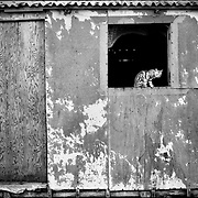 DAILY VENEZUELA / VENEZUELA COTIDIANA.Zapara Island, Zulia State. Venezuela 2002.(Copyright © Aaron Sosa)