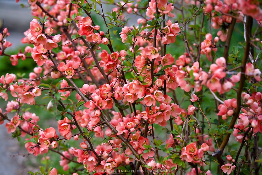 "The flowering quince (Chaenomeles japonica). The fruit are very hard and astringent and very unpleasant to eat raw, though they do soften and become less astringent after frost (when they are said to be ""bletted""). They are, however, suitable for making liqueurs, as well as marmalade and preserves, as they contain more pectin than apples and true quinces. The fruit also contain more vitamin C than lemons (up to 150 mg/100 g)."