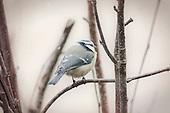 Scandinavian songbirds