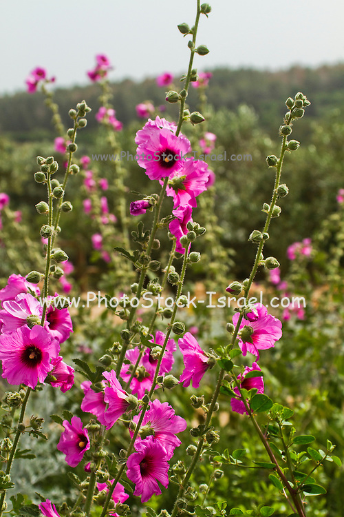 Bristly Hollyhock (Alcea setosa) pink spring flower, israel